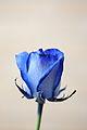 Dyed Blue Rose.jpg