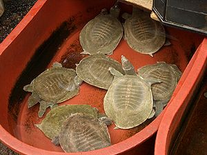 Turtle farming -  Chinese softshell turtle is the most common farmed turtle in Asia.