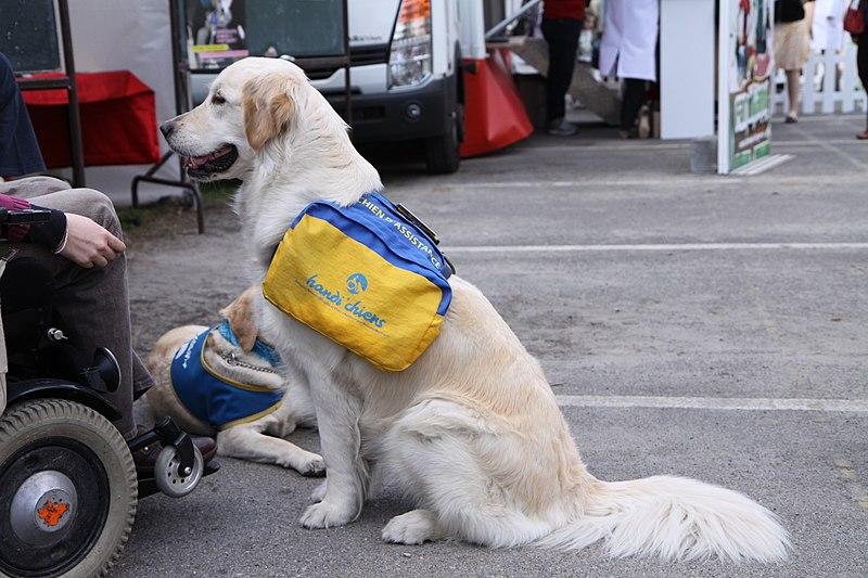 File:ENVA - JPO2010 - chien d'assistance pour handicapé.JPG