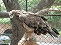 Eagle Lahore Zoo June302005.jpg