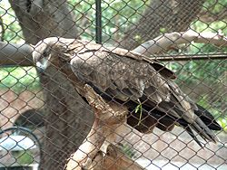 A Steppe Eagle in Lahore Zoo Pakistan .