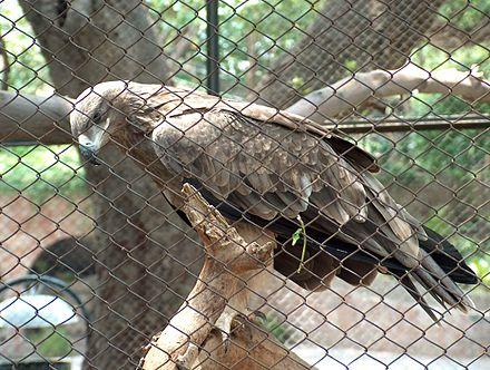 Một con đại bàng Steppe