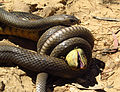 Eastern Brown Snake eating an Eastern Blue tongue. (8235991265).jpg