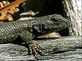 Eastern Fence Lizard(Juvenile).JPG