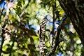 Eastern wood-pewee (30108658122).jpg