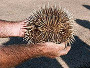 A Short-beaked Echidna curled into a ball; the snout is visible on the right.