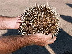 definition of echidna