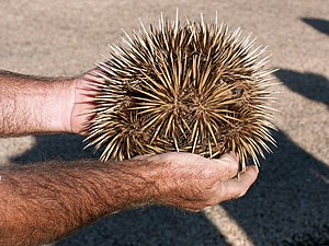 Short-beaked echidna - A short-beaked echidna curled into a ball. The snout is visible on the right.