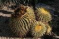 Echinocactus grusonii (Mex).JPG