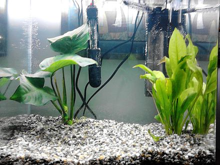 Live plants in an aquarium help to complete the nitrogen cycle, by utilizing nitrate as fertilizer. This 60-litre aquarium contains Anubias barteri and Echinodorus bleheri. A heater and small filter are in the background. Echinotitti.JPG