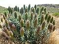 Echium candicans - Pico do Arieiro - Madere 01.jpg
