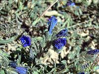 Echium sabulicola LaMata