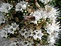 Echium simplex 3c.JPG
