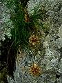 Edraianthus IMG 4793^.jpg