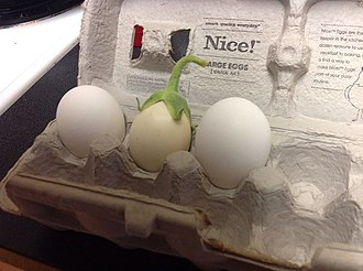 Eggplant - White eggplant compared to two chicken eggs