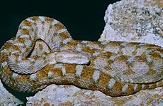 Egyptian Saw-scaled Viper (Echis pyramidum)(captive specimen) (14897412735).jpg