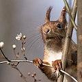 Eichhörnchen im blühenden Baum Frankfurter Grüngürtel.jpg