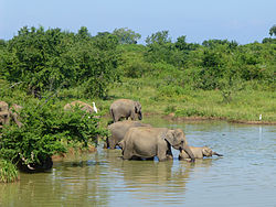 Eléphants-Uda Walawe National Park (1).jpg