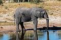 Elefante africano de sabana (Loxodonta africana), Elephant Sands, Botsuana, 2018-07-28, DD 113.jpg