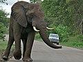 Elephant (Loxodonta africana) (6045360344).jpg