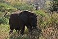 Elephants, Tarangire National Park (17) (28083442074).jpg
