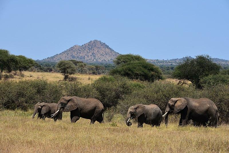 afrikanza-tarangire-elephants