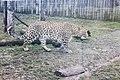 Em - Panthera pardus - 9.jpg