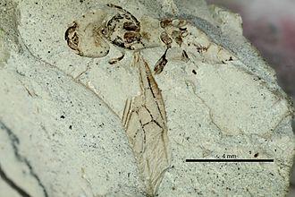 """1920 in paleontology - Emplastus britannicus  (""""E. emeryi"""" holotype)"""