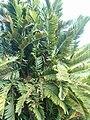 Encephalartos lebomboensis KirstenboshBotGard09292010C.JPG