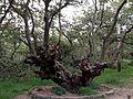 Encino Bosque de Tlalpan.jpg