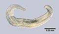 Enterobius vermicularis (YPM IZ 093289).jpeg