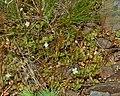 Epilobium brunnescens (New Zealand willowherb) - Flickr - S. Rae.jpg