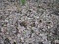 Equisetum pratense 5750.jpg