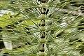 Equisetum telmateia Ehrth.jpg