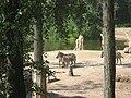 Equus quagga boehmi, Giraffa camelopardalis rothschildi in Burgers' Zoo (Safari) (1).jpg