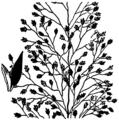 Eragrostis frankii HC-1950.png