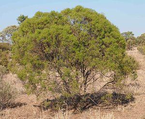 Eremophila mitchellii - E. mitchellii habit