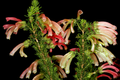 Erica glandulosa 1DS-II 5954.png