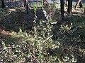 Ericaceae sp. (23984171998).jpg