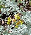 Eriogonum crocatum 3.jpg