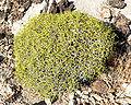 Eriogonum heermannii var sulcatum 1.jpg