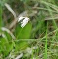 Eriophorum gracile sagisg03.jpg