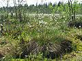 Eriophorum vaginatum Kemi, Finland 03.06.2013.jpg