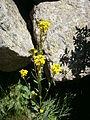 Erysimum hieracifolium 002.jpg