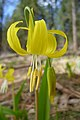 Erythronium grandiflorum ssp. grandiflorum with yellow anthers.jpg