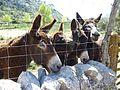 Eselherde am Refugio des Tossals.jpg