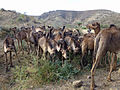 Ethiopie-Dromadaires entre Debre Birham et Kombolcha (4).jpg