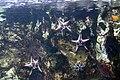 Etoiles de mer à l'aquarium tropical de la porte dorée.JPG