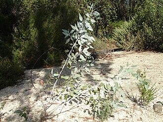 Eucalyptus - Eucalyptus cretata, juvenile, showing low branching 'mallee' form, Melbourne, Victoria