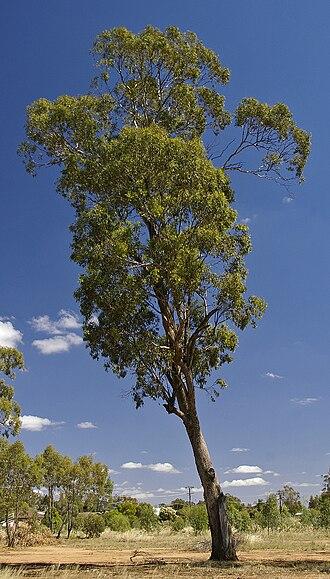 Eucalyptus melliodora - Image: Eucalyptus melliodora 1